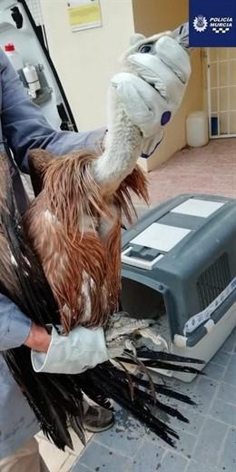 Buitre caputado por la patrulla ecológica de la Policía Local de Murcia