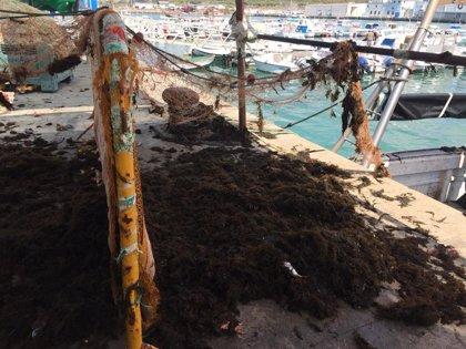 Pescadores de Barbate alertan del problema del alga invasora con pérdidas de más de 500 euros diarios por barco