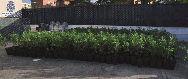 Plantas de marihuana incautadas por la Policía Nacional en Ciudad Real