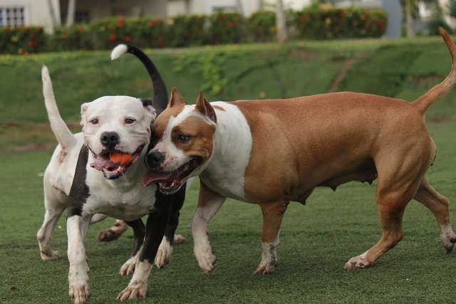 Perros de raza pitbull jugando