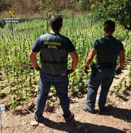 Desmantelada una plantación de marihuana de 11.700 plantas en Capmany (Girona)