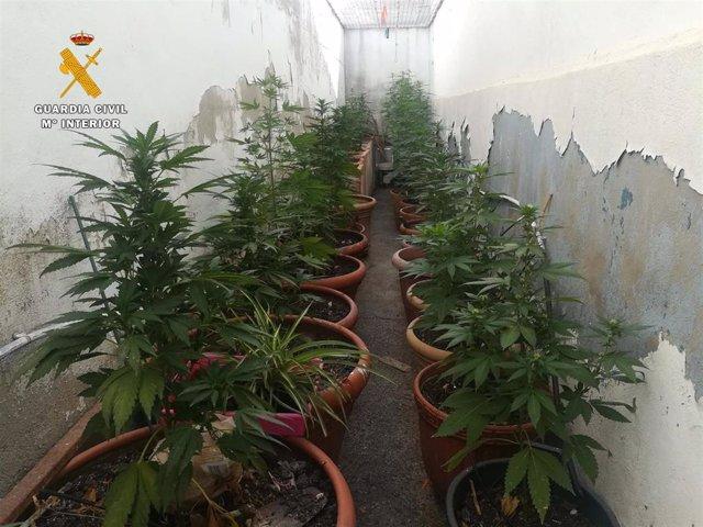 Plantas de marihuana en una vivienda en La Rambla de Córdoba
