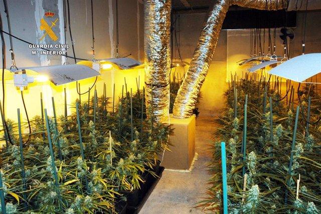 Plantación de casi 500 plantas de marihuana en Parbayón