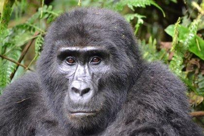 Los gorilas de montaña juegan en el agua como si fueran humanos
