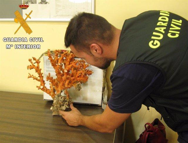 Pieza de coral rojo protegido intervenida en el Puerto de Almería