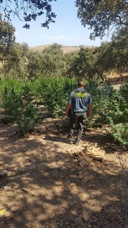 Plantación de marihuana desmantelada en una finca de El Castillo de las Guardas (Sevilla)