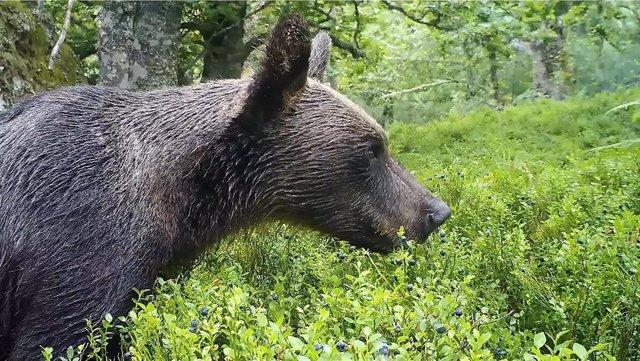 Oso pardo en su hábitat comiendo arándonos.