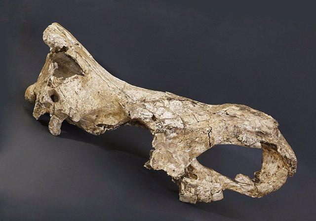 Extraen datos genéticos de un diente de rinoceronte de 1,7 millones de años