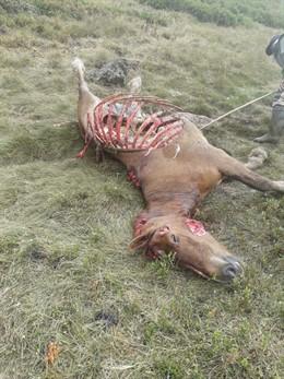 Una yegua muerta la noche del martes al miércoles por un ataque del oso