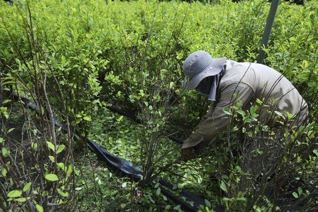 Policía erradicando cultivos de hoja de coca.