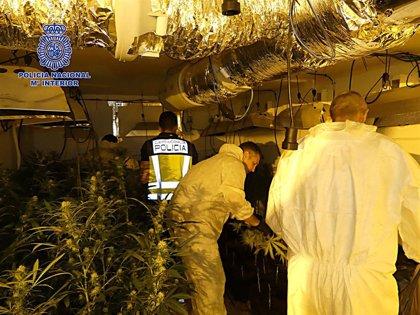 Una intervención policial desmantela un cultivo de 804 plantas de marihuana en Nambroca