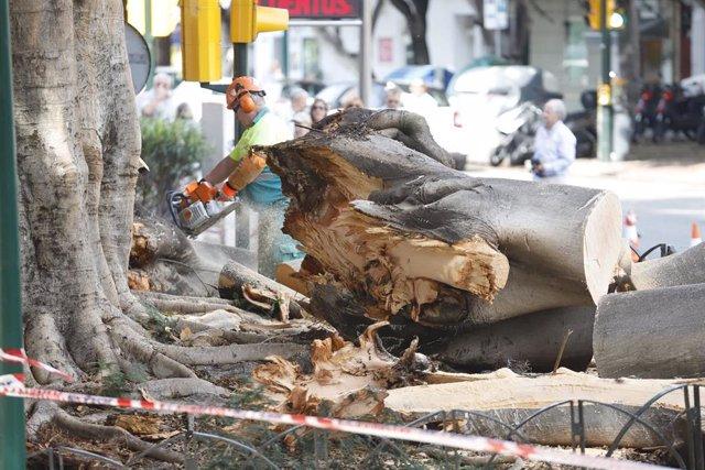 Últimos coletazos del temporal Dana en la provincia de Málaga. Operarios de Parques y Jardines realizan labores de recogida del emblemático árbol Ficus del Paseo de Rending derribado por el Dana.