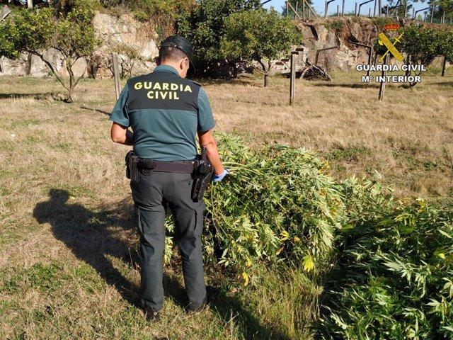 Un agente de la Guardia Civil junto a plantas de marihuana incautadas en Pontecesures (Pontevedra)