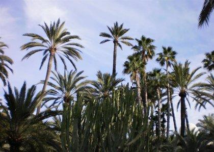 La palmera más alta del parque municipal de Elche, con 25 metros y más de 200 años, cae a causa del temporal