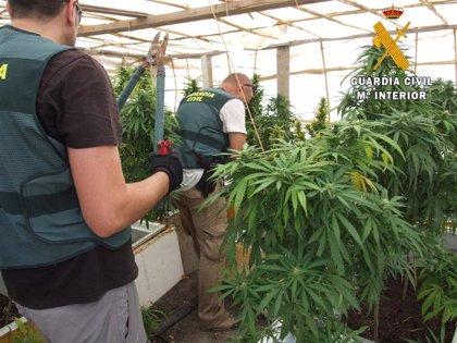 Localizan 500 plantas de marihuana en una antigua explotación minera de Cuevas del Almanzora (Almería)