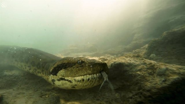 Una anaconda de siete metros sorprende a dos buceadores en un río brasileño