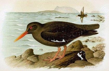 ADN revela que un ave extinta de Canarias no era una especie única