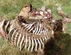 El Conselh Generau d'Aran confirma el tercer atac de l'os Cachou a una egua (CONSELH GENERAU D'ARAN)