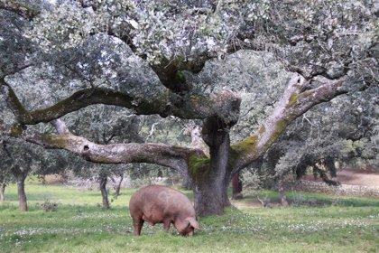 La producción de porcino español batió récord en 2018, con 4,5 millones de toneladas