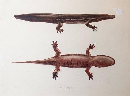 El mayor anfibio del mundo, descubierto en un museo