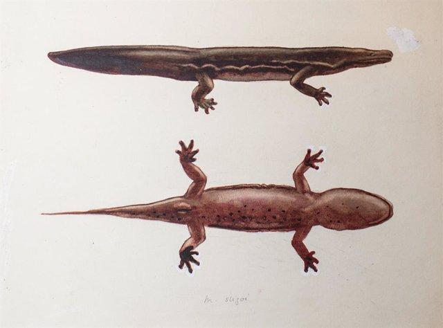 Nueva especie de salamandra se convierte en el mayor anfibio del mundo