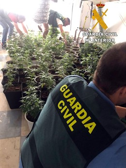 Cultivo de 220 plantas de marihuana localizado en una vivienda ocupada de Roquetas de Mar (Almería)