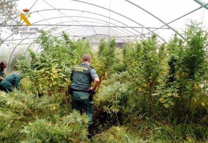 Localizada una plantación de marihuana dentro de una explotación de tomates en Corvera