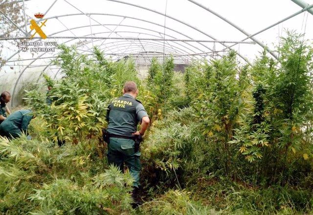 Rdo. Nota De Prensa Guardia Civil (Localizado Un Invernadero Con Marihuana En Una Explotación De Tomates)