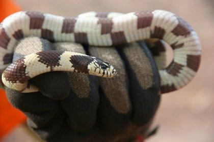 Capturadas en Gran Canaria casi 1.000 ejemplares de culebra real de California en lo que va de año