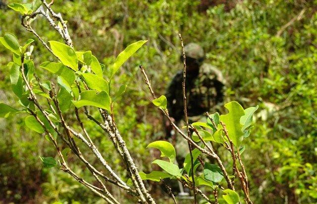 Plantación de coca en Colombia