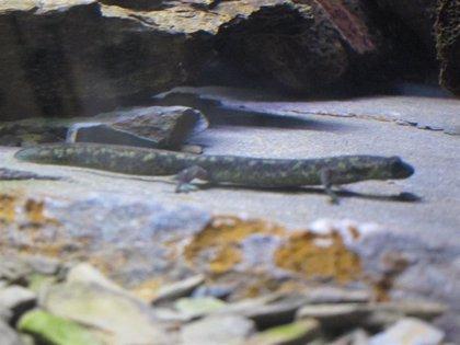 """El tritón del Montseny se mantiene en """"peligro crítico de extinción"""" por el cambio climático"""