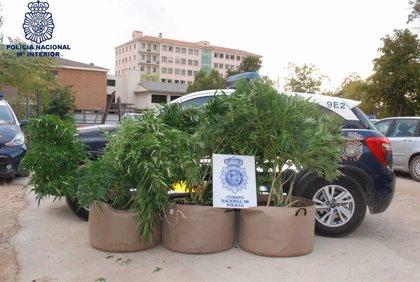 La Policía detiene en Cuenca a una persona que cultivaba marihuana en la terraza de su domicilio