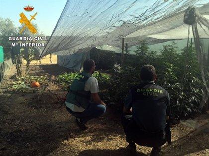 Detienen a un vecino de Villanueva de Córdoba e intervienen 65 plantas de marihuana