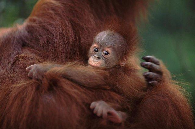 Orangután.