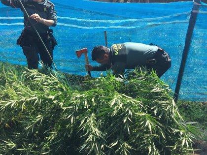 Tres detenidos en Soria y decomisadas 10 plantas de marihuana con un peso de 40 kilos