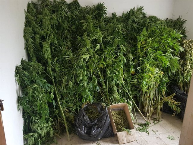 Marihuana localizada en Begonte (Lugo).