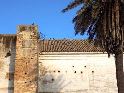 Ecologistas dice que la obra de Santa Ana en Carmona omite al cernícalo y el Ayuntamiento asegura nuevos nidos