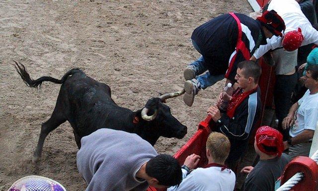 Suelta de vaquillas en la Plaza de Toros de Ampuero, tras los encierros