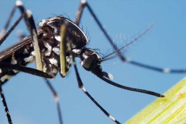 Asian Tiger Mosquito (Aedes albopictus)