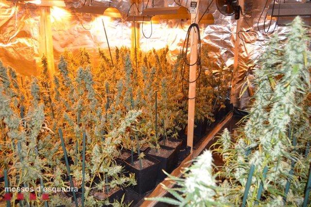 Plantació de marihuana a l'Horta de Lleida.