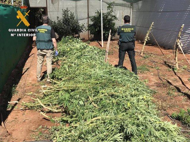 Desmantelan una plantación de marihuana en Puente Genil