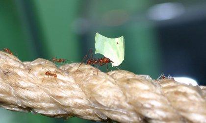 Analizan en unas hormigas nuevas formas de detener o retrasar la resistencia a antibióticos