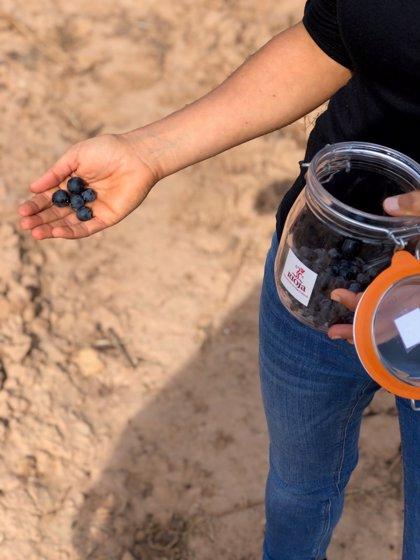 DOCa Rioja.- La vendimia en la DOC Rioja está prácticamente generalizada constatando que el estado vegetativo del viñedo es bueno