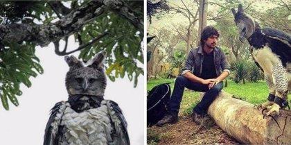Conoce al águila harpía, un animal de grandes dimensiones que muchos confunden con una persona disfrazada