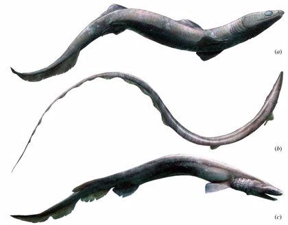 Primeros restos esqueléticos de Phoebodus, un extraño tiburón ancestral