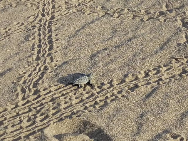Tortuga en la playa de Castelldefels