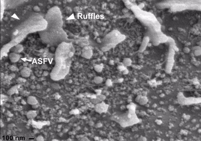 Virus de la peste porcina africana