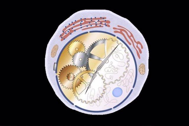 Investigadores de la Facultad de Medicina de la Universidad de Washington en St. Louis han identificado una célula inmunitaria que ayuda a establecer los ritmos diarios del sistema digestivo.
