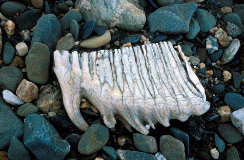 Diente de mamut hallada en la isla Wrangel