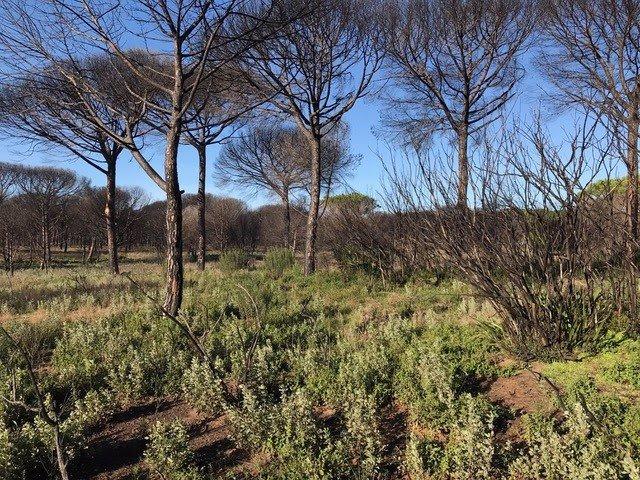 Zona afectada por el incendio de Las Peñuelas en el Parque Natural de Doñana
